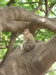Monkey at Lalbagh